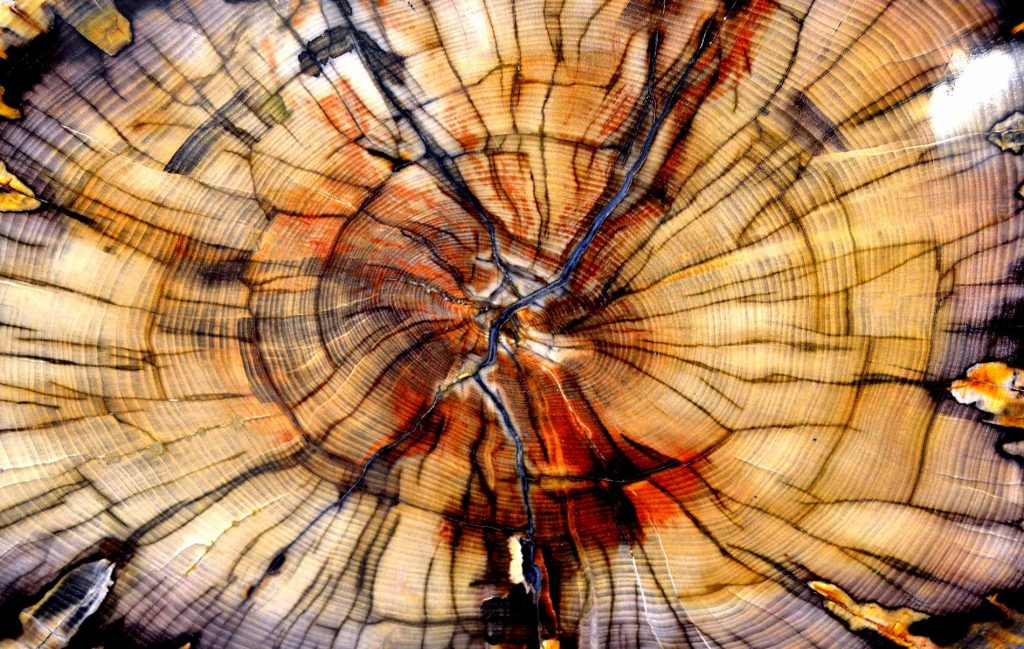 Petrified-trees-differ-from-tree-fossils