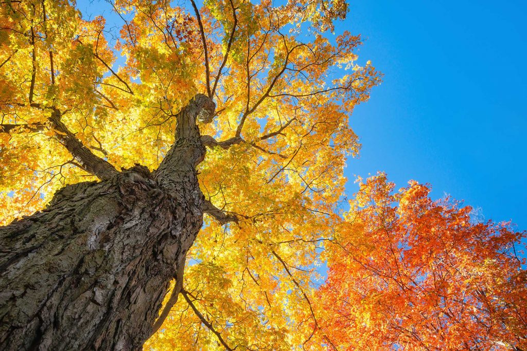 Red-Sunset-Maple-Trees-are-a-popular-choice