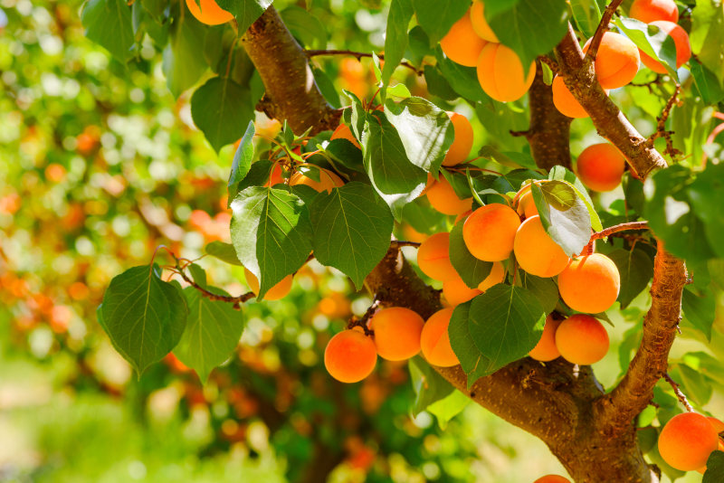 How To Take Care Of Your Apricot Trees