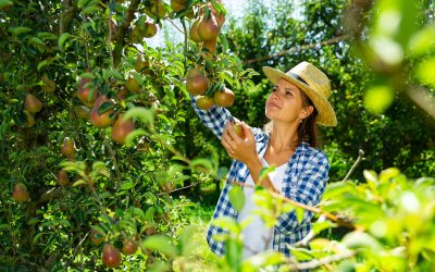All About Pear Trees