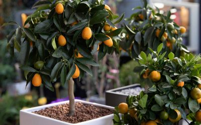 Easy To Grow Container Trees