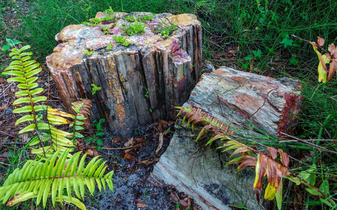 What is a petrified forest?