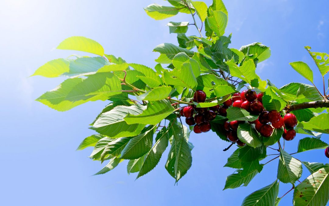 Your Guide to Cherry Trees