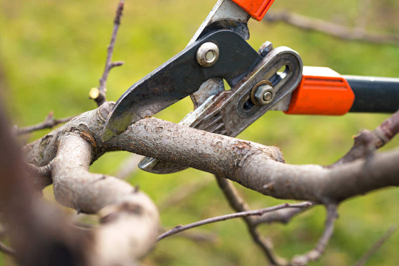 Fruit Tree Pruning for Higher Yields