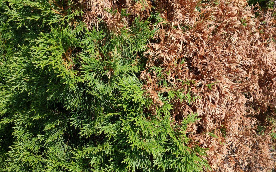 Is my cedar tree dying?