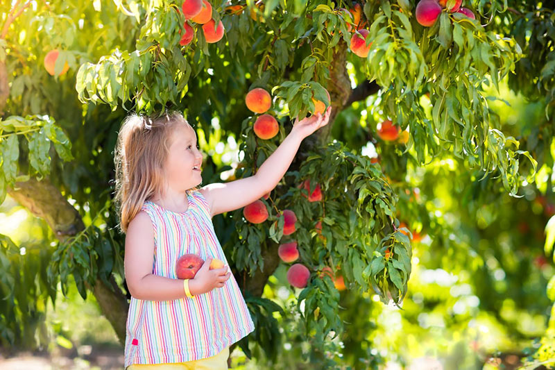 All About Peach Trees