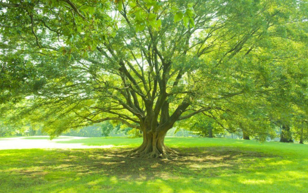 Leafy Shade Trees